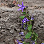 Blume an Mauer, lila, fünfzählig